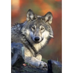 Puzzle Mladý vlk