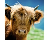Puzzle Kráva náhorního skotu