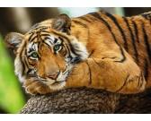 Puzzle Mladý tygr